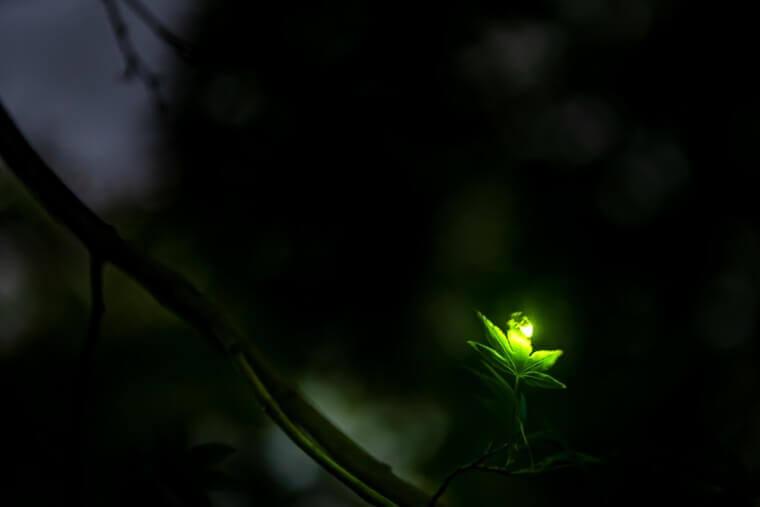 ホタルの光(葉っぱの上)
