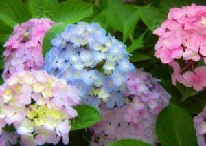 紫陽花の色の違いって何で決まる?3つの原因が大きく関係している!